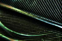 Black Feather macro