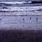 """Sandpipers at Torrey Pines"" by AnitaBurnsArt"