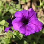 """Purple Petunia"" by Art_by_DRIVEN"