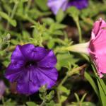 """Pink & Purple Petunias"" by Art_by_DRIVEN"