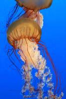Salish Sea Jellyfish-2011