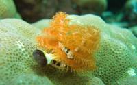 Orange Christmas tree worms