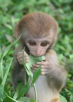 Baby Monkey in India