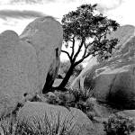 """Hideaway Juniper Tree in Joshua Tree N.P."" by bob80"