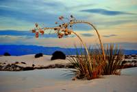 Yucca at White Sands, NM