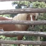 """""""Shetland pony"""" by arttraveler"""