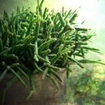 """Rhipsalis - Coral Cactus"" by balancedcrafts"