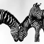 """3 Zebras"" by Pencilworks"