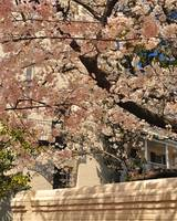 Cherry Blossoms in Old Town