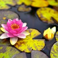 Lotus Art Prints & Posters by bimcy