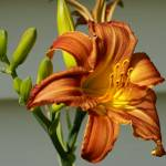 """Orange Lily 2"" by barondzines"