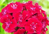 Floral - Sweet William Macro - Garden Flower