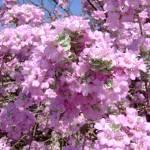 """""""Purple Texas Sage"""" by meganrenehoover"""