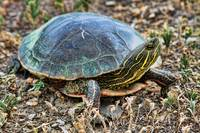 Western Painted Turtle ll