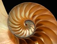 Brilliant Nautilus