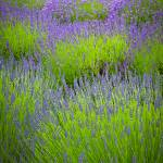 """Lavender Study"" by Inge-Johnsson"