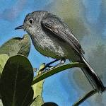 """Blue-gray Gnatcatcher"" by shelshots"