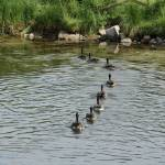 """Canada Geese Line Up for Egress"" by skipsphotos"