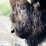 """Bison Face.JPG-2"" by skipsphotos"
