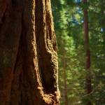 """Light on a Sequoia tree"" by hideakisakurai"