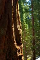 Light on a Sequoia tree