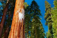Sequoia forest in spring