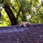 """Resting Raccoon"" by ArtlbyYelena"
