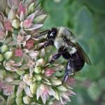 """Bumble Bee On Autumn Sedum"" by bavosiphotoart"