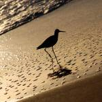 """bird on beach"" by willd"