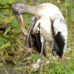 """Wood Stork"" by A_Stuckert"