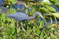 Little Blue Heron (nominal morph)