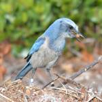 """Florida Scrub-Jay"" by A_Stuckert"