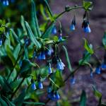 """Aspen Bluebells"" by RM84e"