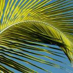 """Palm Tree Leaf"" by pawelka"