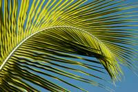 Palm Tree Leaf