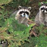 """""""Three Raccoons"""" by makepeace"""