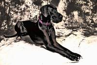 Great Dane 2