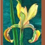 """""""Spuria Iris"""" by florist59"""
