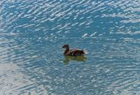 The Duck on Water