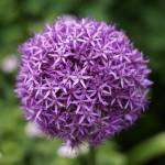 """""""Allium Giganteum"""" by Kittyhawk25"""
