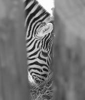 Zebra Thru the Trees