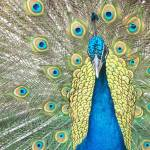 """Peacock"" by ackerman"