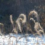 """Sea oats and snow"" by ackerman"