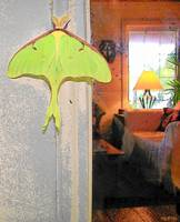Lunar Moth by Lake Cabin - Insect Butterfly