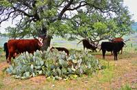 Texas Cows and large Cactus and Tree