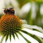 """""""Bee on daisy"""" by Kittyhawk25"""