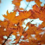 """Fall Maple"" by billoneil"
