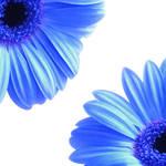"""Gerbera Twins Blue"" by ImageMonkey"