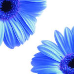 """Gerbera Twins Blue"" by ImageMonkey"