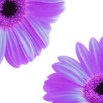 """Gerbera Twins Purple"" by ImageMonkey"